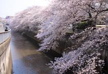 石神井川沿い桜並木